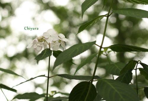 hydrangea 4739.jpg